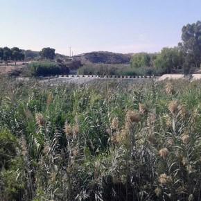 Ciudadanos reclama una limpieza urgente de los cañizos que cubren las márgenes del río Segura entre la Contraparada y Murcia